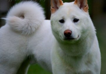 Shiba inu puppy for sell (7 months white)