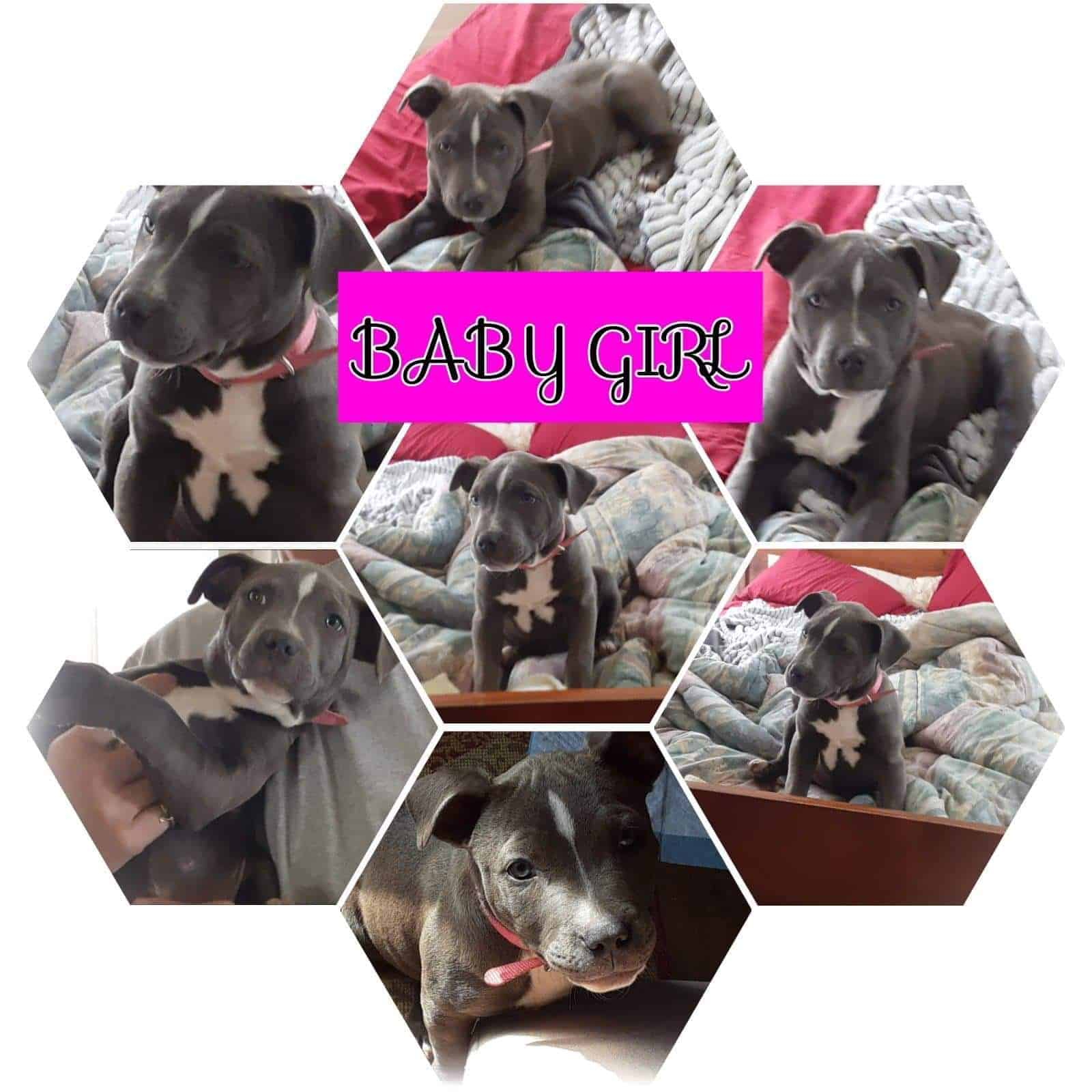 Blue nose pit bull 4 weeks old pups