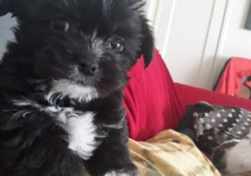 Chihuahua Lhasa Apso mix for sale