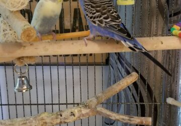 2 Parakeets to a good home.