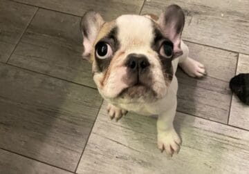 French Bulldog Puppy For Sale Female 11 weeks old