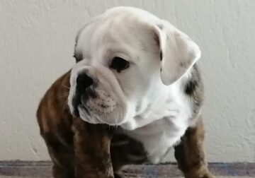 MALE ENGLISH BULLDOG FOR SALE