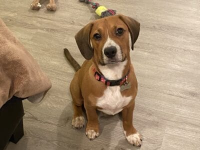4 month old puppy (Cage included)