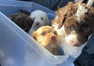 Cockapoos puppies for sale