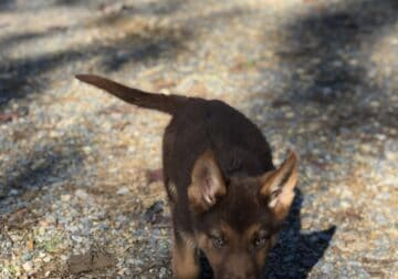 Pure-bred German Shepard Puppies for sale