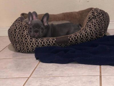 Blue French Bulldog Puppies Ready this week