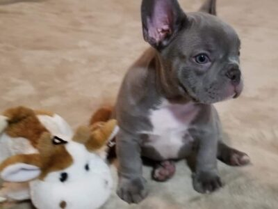 Blue French Bulldog Puppies Available.