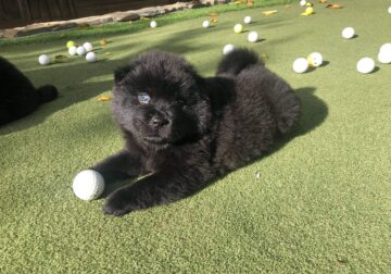 Purebred Chow Chow Puppies, 8 weeks old