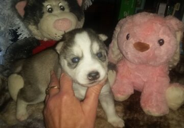 Husky puppies for sale!