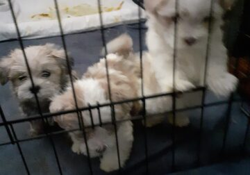 Selling shihtuz and poodles