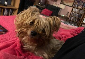 "11 month old male Yorkshire terrier ""Bingo"""