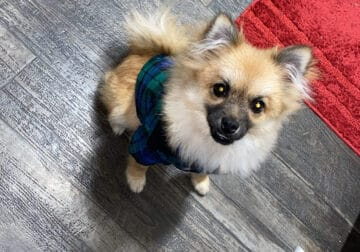 Pomeranian 6 month old pup