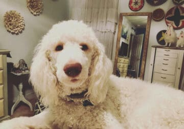 Pure bred 2 year-old apricot Poodle