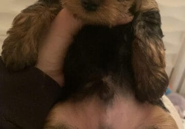 Colton Male Yorkie Puppy