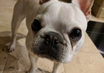 Instagram famous white super cute frenchy for sale