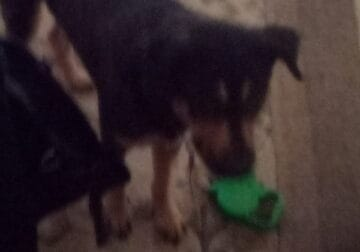 Free two year old hound