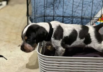 Bluetick Coonhound Puppy for Sale!