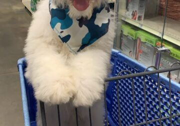 Pyredoodle Puppy Poodle and great pyrenees