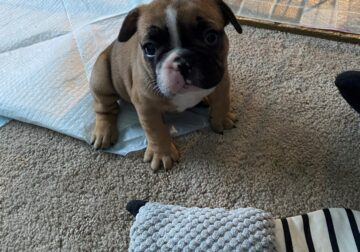 Adorable Frenchie Puppy For Sale!