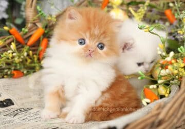 New 2021 Spring Persian Kittens are here!! Several