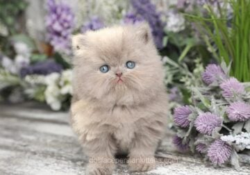 New 2021 Spring Persian Kittens For Sale!!