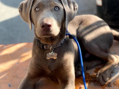 5 month old male Silver Labrador