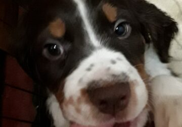 Tricolor English Springer Pups READY TO GO!