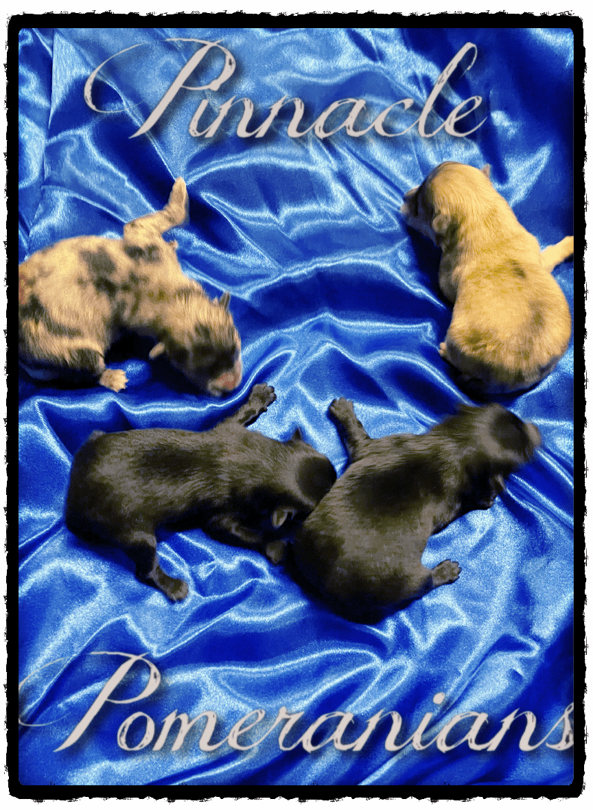 Exotic AKC Wolf Sable and Merle Pomeranian Puppies