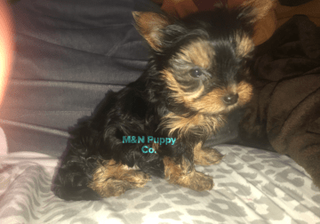 Yorkie puppy for sale (male)