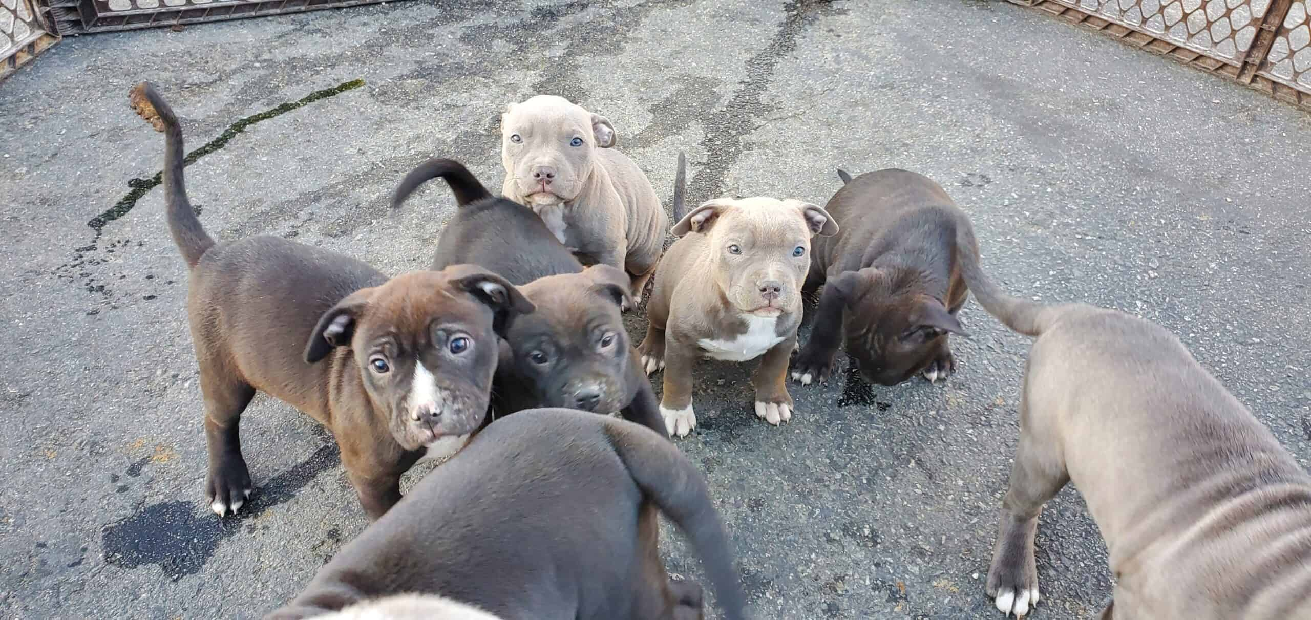 American Staffordshire Pit Bull Terrier Pups
