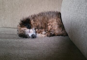 Toy Poodle Needs New Home
