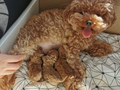 TOY POODLE PUPPIES READY FOR NEW HOMES