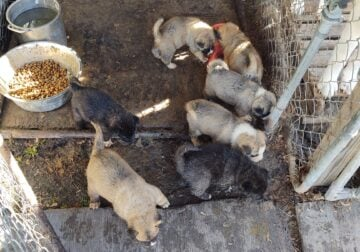 CKC registered Akita puppies for sale