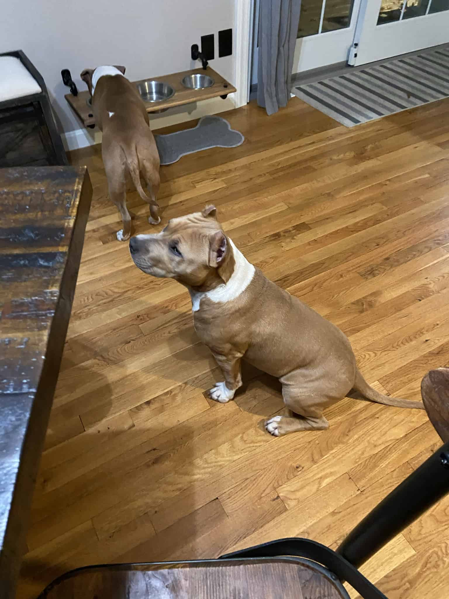 Purebred American Staffordshire Terrier for sale
