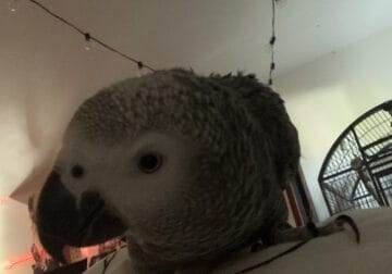 young african grey