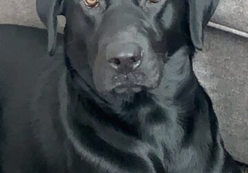 MALE BLACK LAB-REHOMING
