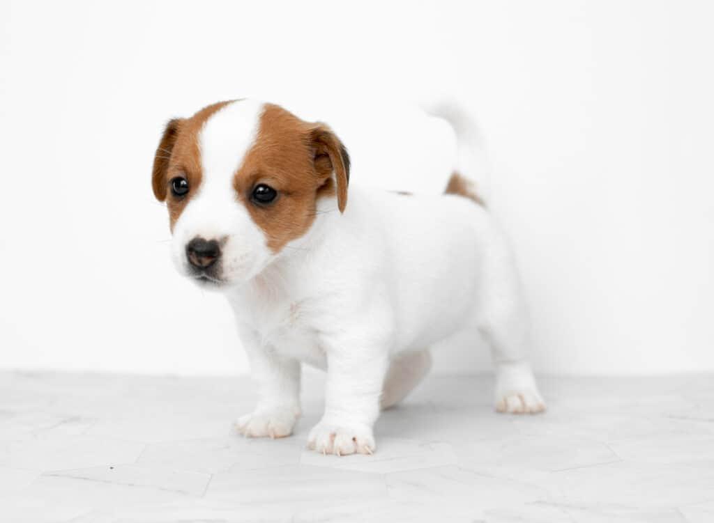 Free Puppy Listings