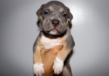 Tricolor American Bully Puppies