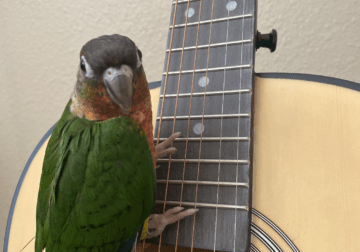 Green cheek conure and large cage