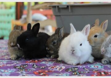 REHOMING BABY AND ADULT DWARF BUNNY RABBITS