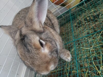 Rabbit for selling NEEDS HOME FAST
