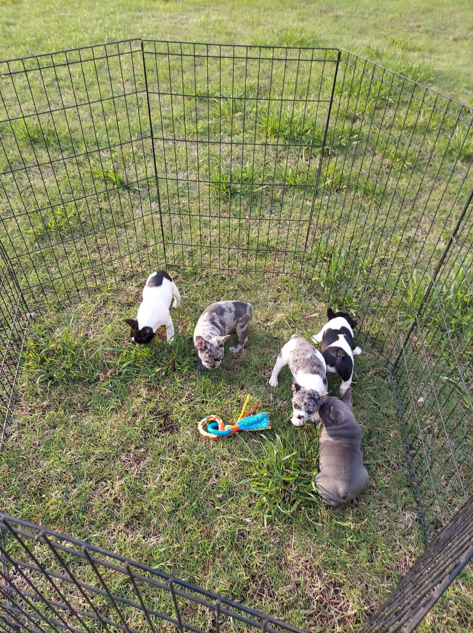 French Bulldog Puppies for sale in Oklahoma