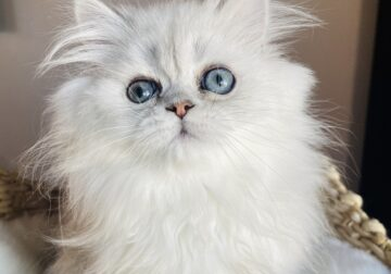 Show quality Doll Face Persian Boy. 12 Weeks old