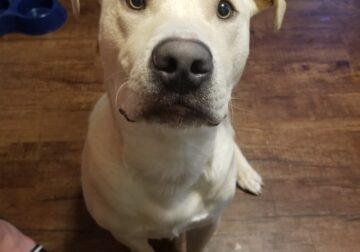 1 year old Lab mix needs new home