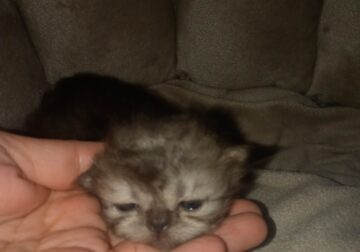 Persian kittens are here!