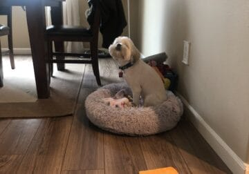 1-Year Old Lhasa Apso needs new home!