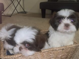 Your Shih Tzu is ready!!