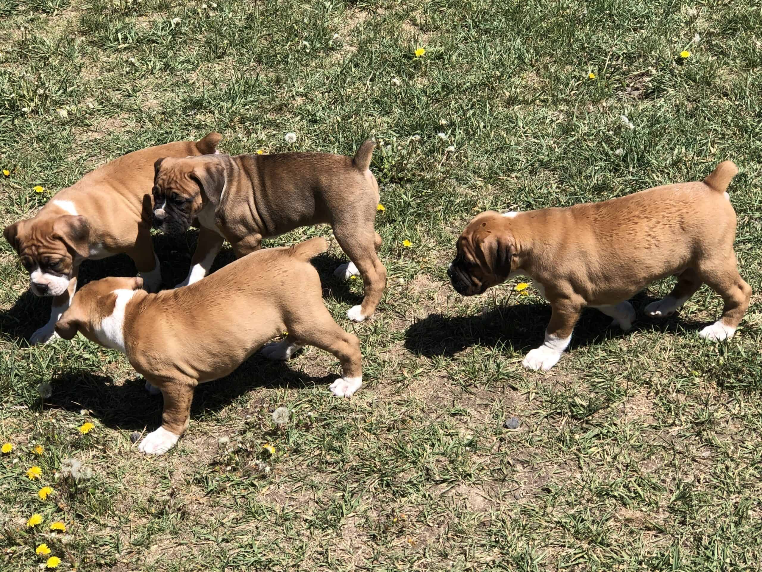 3 Male Boxer Pups for sale