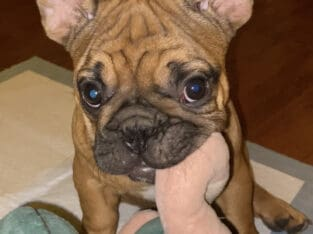 Beautiful Frenchie Puppies
