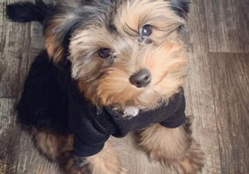 11 month old Full blooded Male Yorkie for sale